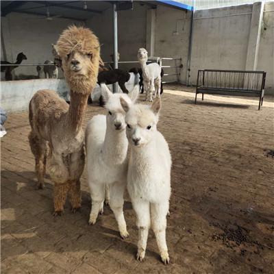 江干羊驼价格多少-羊驼价格低_品种好_送货上门
