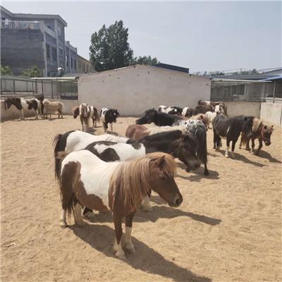 舟山新區景區觀賞矮馬養殖前景分析