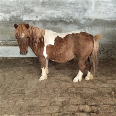 聊城小矮馬一只大概多少錢