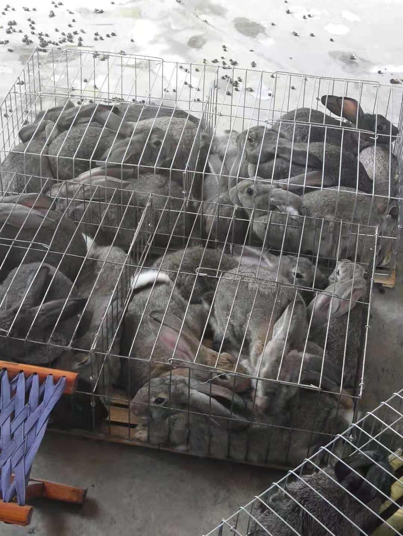 南宁比利时肉兔养殖方法
