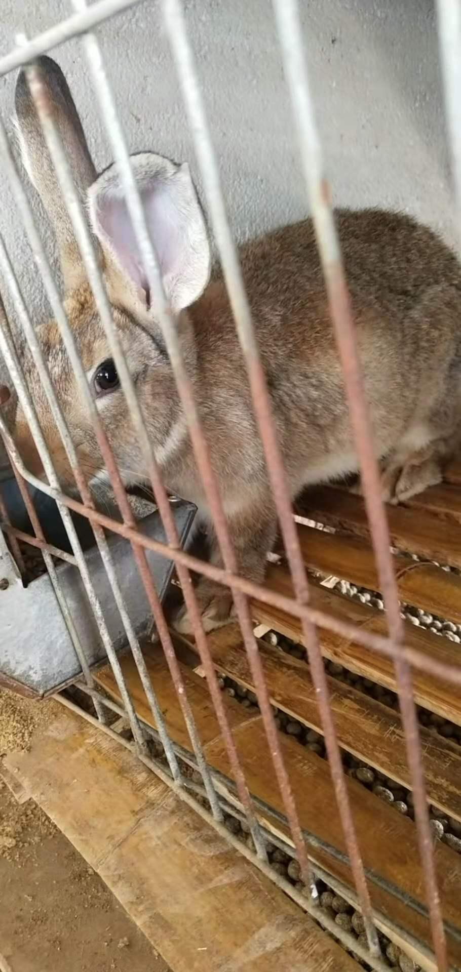 城区种兔喂养技巧