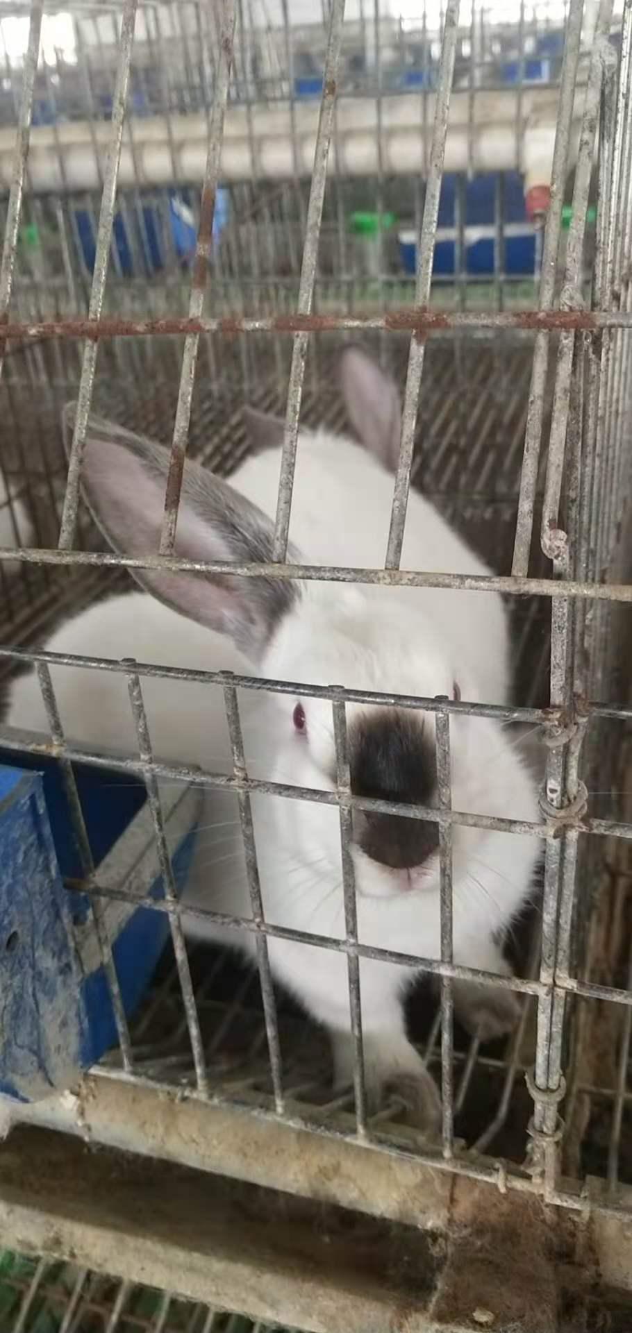 马鞍山和县肉兔喂养技巧