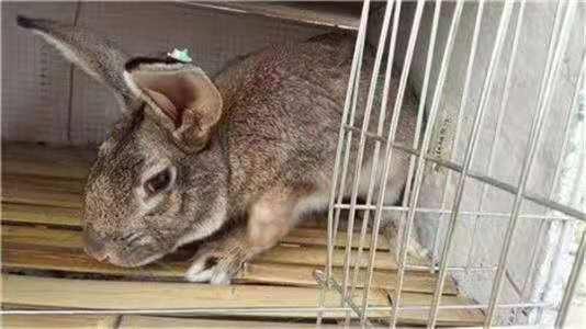 中方杂交野兔喂养技巧