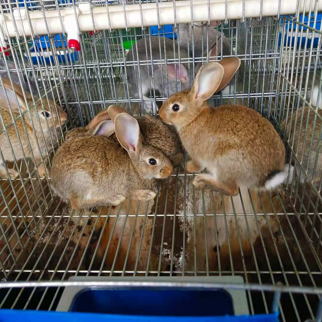 册亨杂交野兔喂养技巧