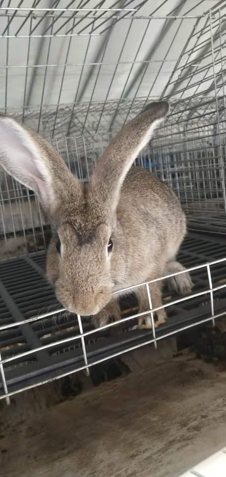 七台河杂交野兔养殖基地在哪