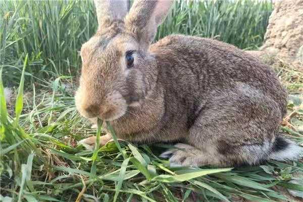 南湖种兔喂养技巧