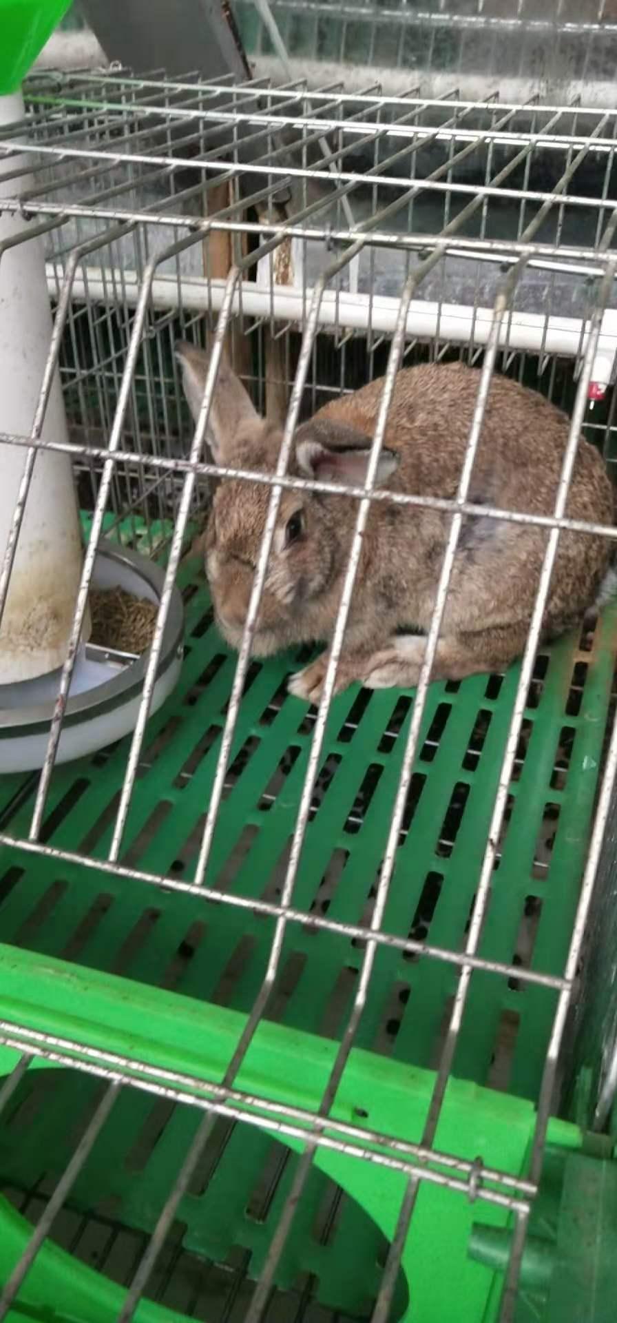 元宝新西兰肉兔喂养技巧