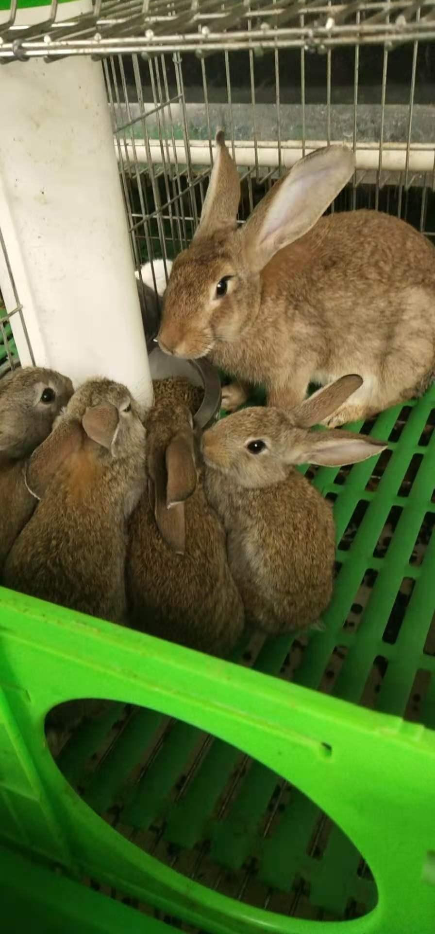 威海比利时肉兔品种
