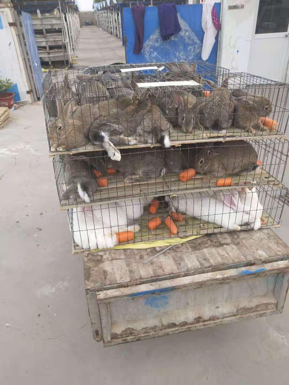 昭通新西兰肉兔品种多样