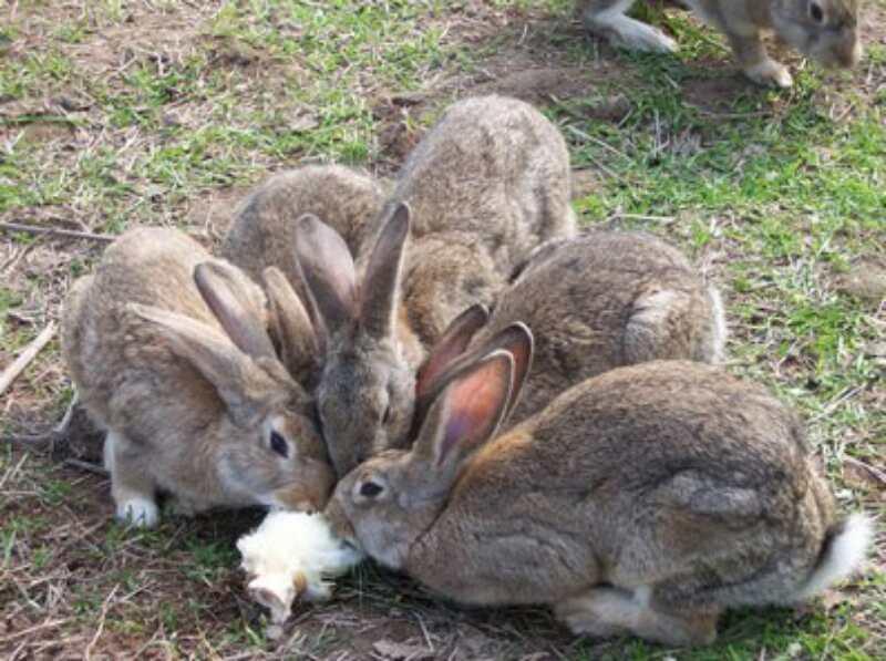 大兴安岭种兔一只多少钱