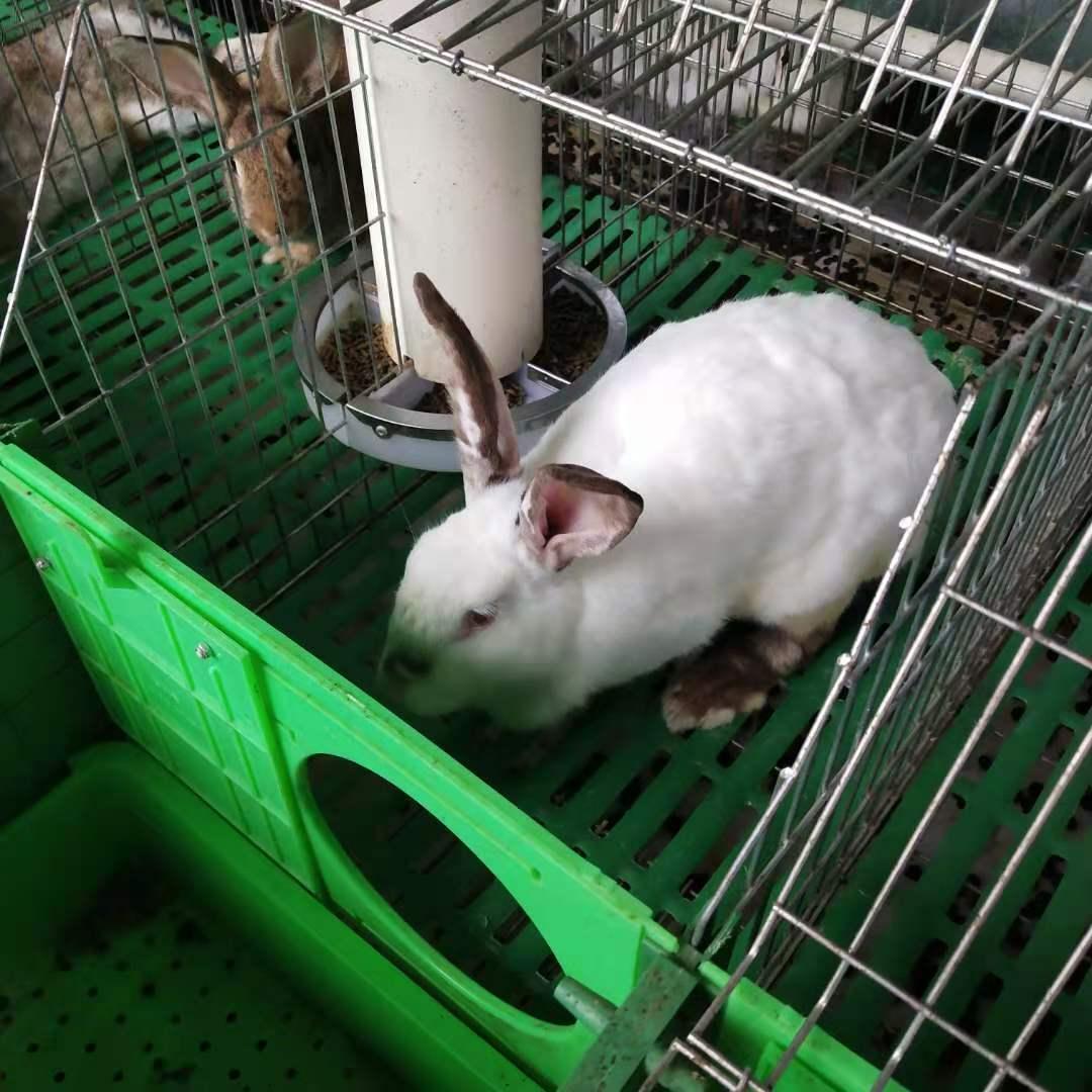 上海虹口比利时肉兔喂养技巧