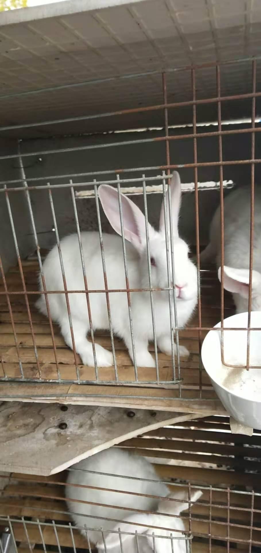 中山神湾种兔喂养技巧