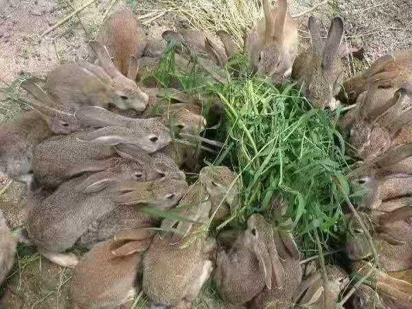张家口涿鹿种兔喂养技巧