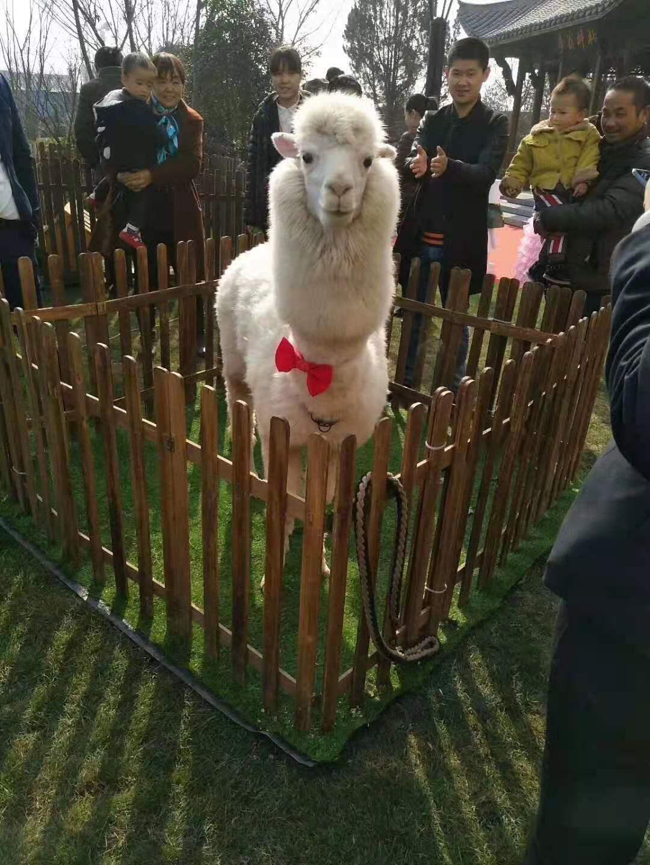 鸡西骆驼展览出租骆驼租赁欢迎来电