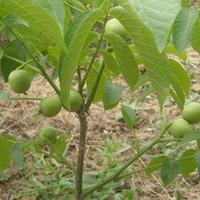 焦作什么地方有2年生柿子树苗建园受欢迎