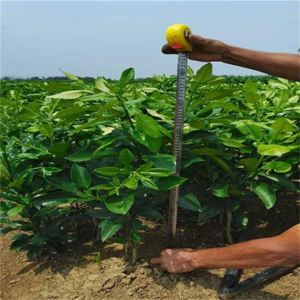 马关泰国青柚苗购买多少棵