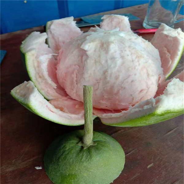 湘乡泰国红宝石青柚苗批发价格