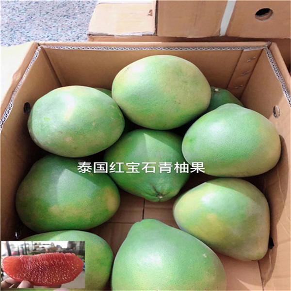 江门江海泰国蜜柚-青柚苗平和县正达蜜柚种苗公司