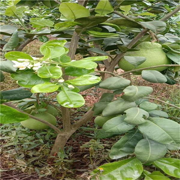 潮州市潮安区正宗红宝石青柚苗现挖供应-平和县正达蜜柚种苗有限公司