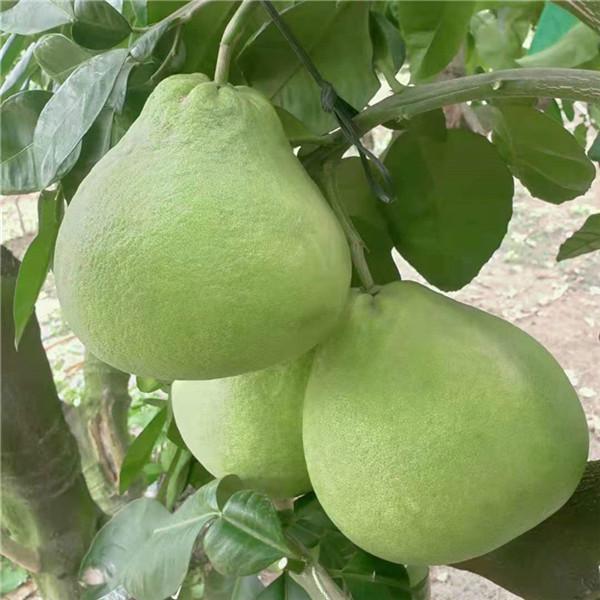 泰国蜜柚苗/红宝石青柚苗多少钱一棵广东省茂名市