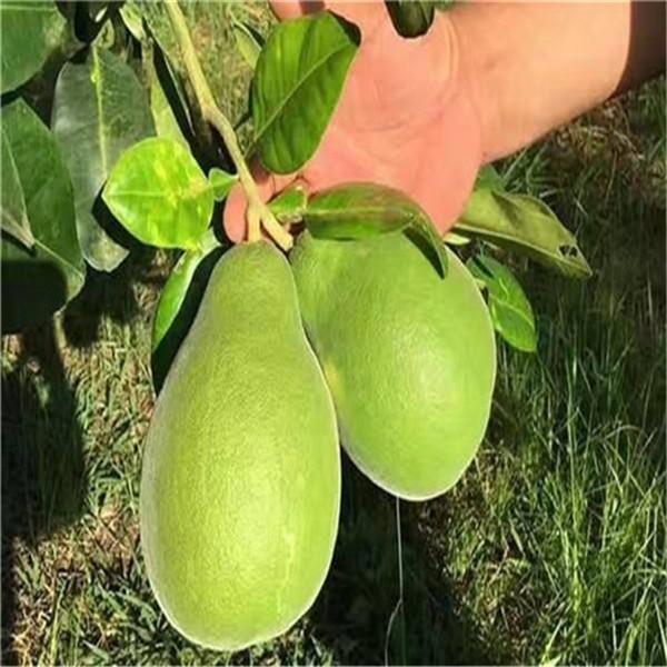 成都郫县泰国青柚苗永达果苗基地有出售