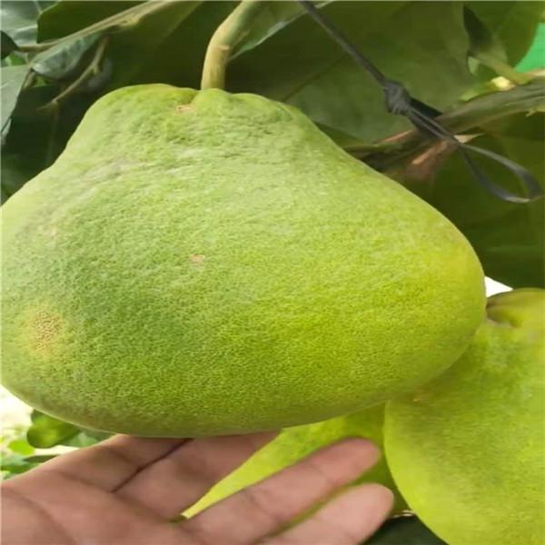 铁山哪里有泰国红宝石青柚大苗供应点正达苗场