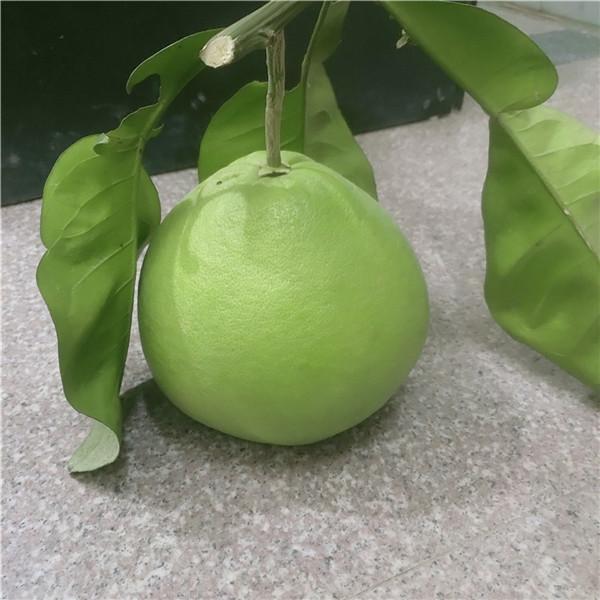 福建厦门泰国品种蜜柚苗咨询产量哪里有卖