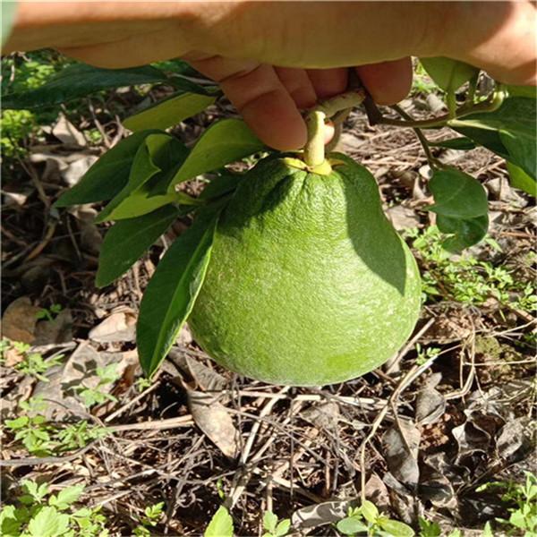 吉安市永新县泰国红宝石青柚苗哪里买正宗正达蜜柚苗基地有