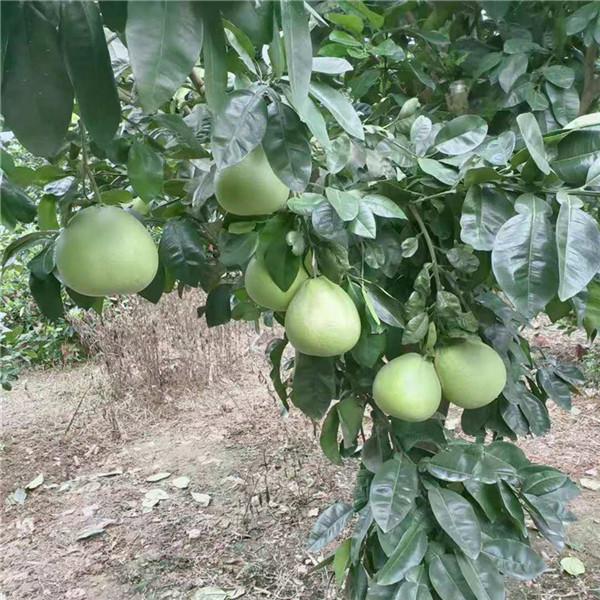 武汉市泰国红宝石青柚苗|泰国暹罗红蜜柚苗找哪家买的放心