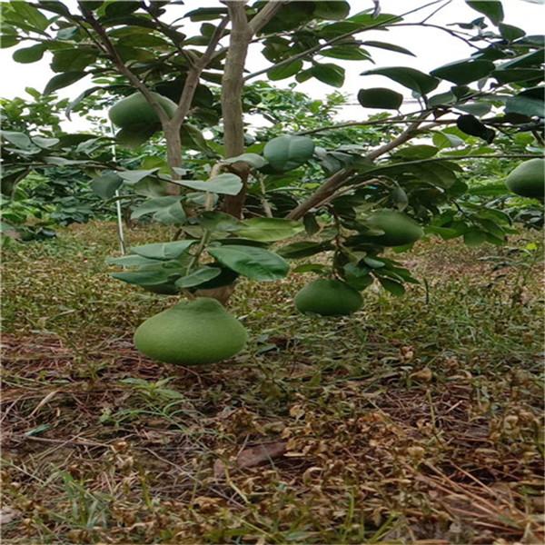 黔南三都泰国红宝石青柚苗哪里有卖永达果苗场售卖