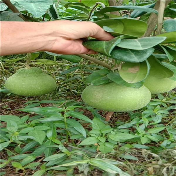 融水苗族自治县泰国红宝石青柚苗永达果苗基地