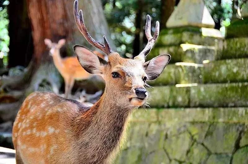 淮南长角梅花鹿多少钱一只--厂家出售动物园观赏梅花鹿