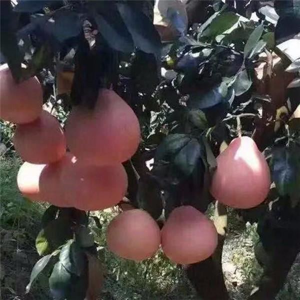 株洲荷塘产地直销大三红蜜柚苗好选择高成活