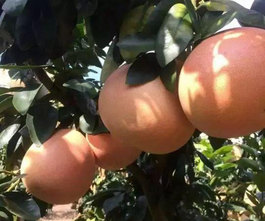 三红蜜柚蜜柚苗大量供应采购贵阳息烽