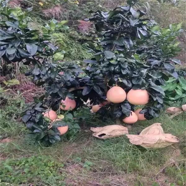 石屏2021正达三红柚子苗热点资讯高成活