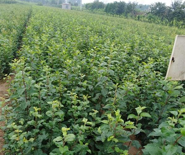 西海岸新区1公分矮化苹果苗结果状 苹果苗特点