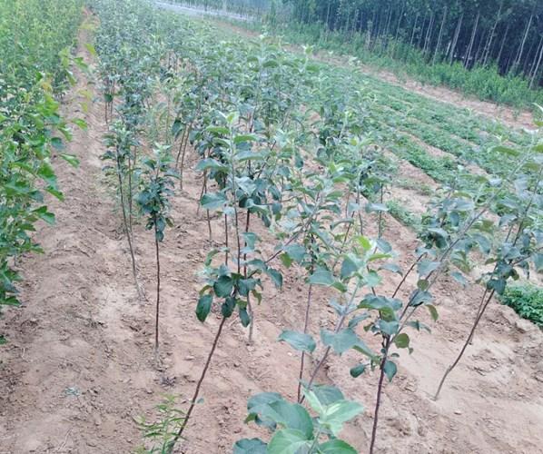 龙口市1公分2公分3公分瑞香红苹果树苗批发、促销