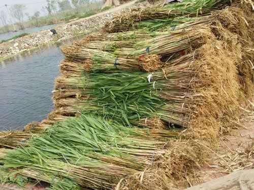 芦苇种子-福建福州芦苇多少钱