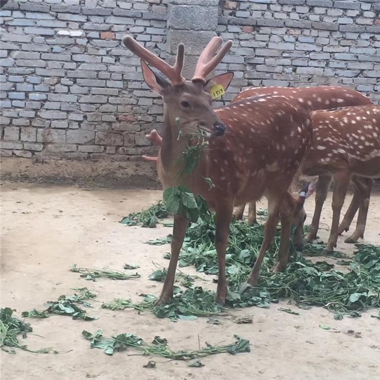 沂南哪里收购梅花鹿怎么养殖-梅花鹿养殖场电话