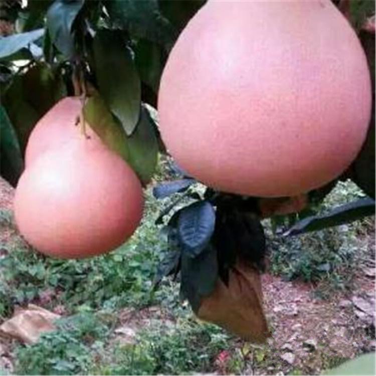 厦门同安产地直销大三红蜜柚苗好选择高成活