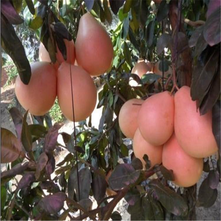 大三红蜜柚三年苗技术在线顺庆