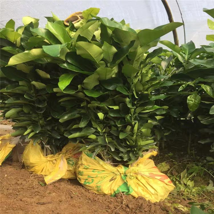 昭觉红肉蜜柚苗(三红柚苗)正达苗木基地多少一棵