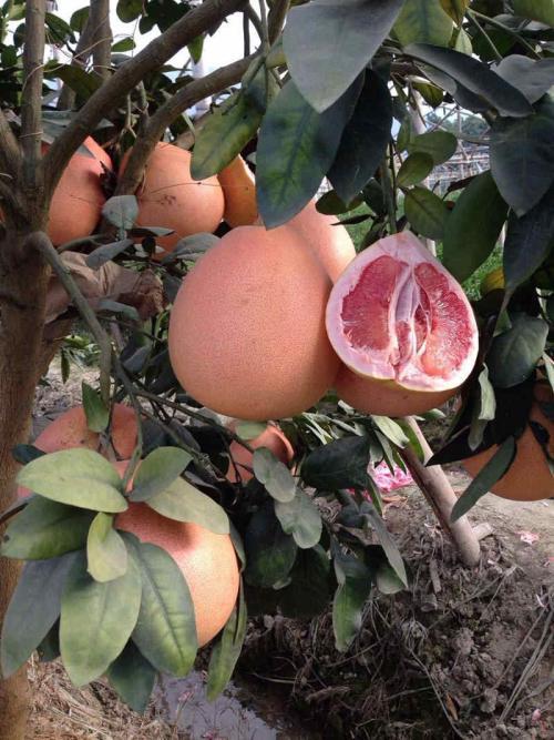 石林三红柚/三红蜜柚苗正达苗木基地
