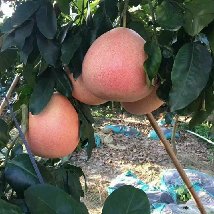 阆中果树苗-三红蜜柚树苗近期报价多少一棵