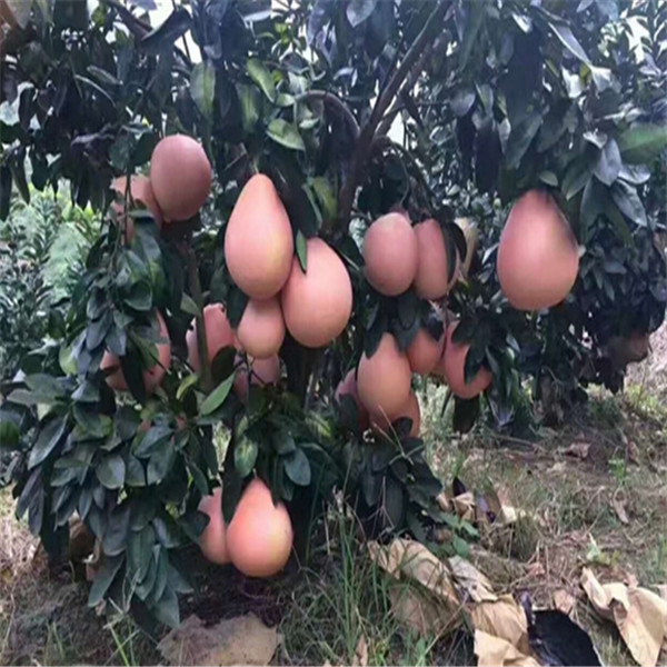 正宗福建三红柚苗价格出售基地遵义汇川