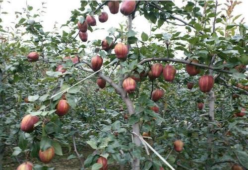 忻州早酥红梨树苗怎么种植