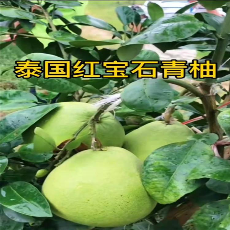 大悟红宝石青柚苗平和县正达蜜柚种苗公司