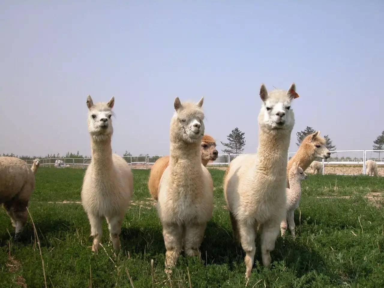 """【优质推荐】定西安定""""神兽""""羊驼养殖-哪里有卖的"""