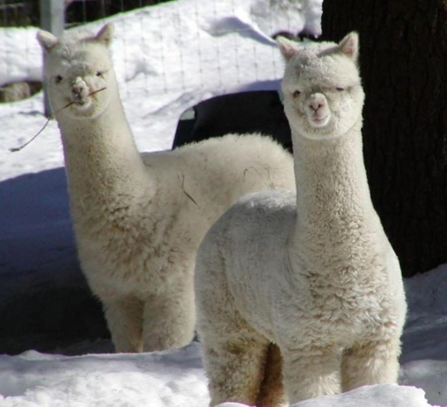 黑河羊驼养殖场  小羊驼价格  旅游区观赏羊驼供应