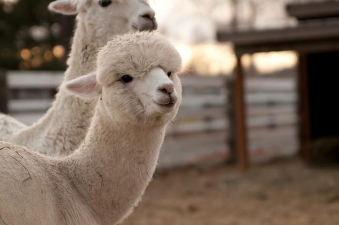 【优质推荐】成都崇州小羊驼养殖-养殖价格品种优质